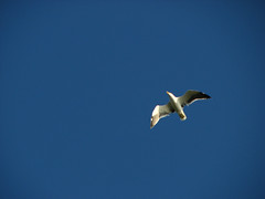 Gaivota (Andr Luiz Martins) Tags: brazil sky bird nature animal brasil riodejaneiro digital canon fly day natureza passarinho pssaro dia cu powershot amateur ceu passaro amador gaivota voo selvagem s3is
