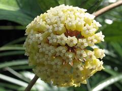 Hoya Vitellinoides (epiforums) Tags: apocynaceae hoya waxplant asclepiadaceae asclepiad asclepiadoideae
