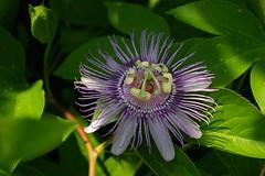 Passion flower (philliefan99) Tags: washingtondc smithsonian urbannature dcist passionflower nationalmuseumofnaturalhistory butterflygarden