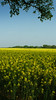 Field of yellow at Thornton/Raby on the Wirral (jimmedia) Tags: summer spring inn farming fields wirral thorntonraby