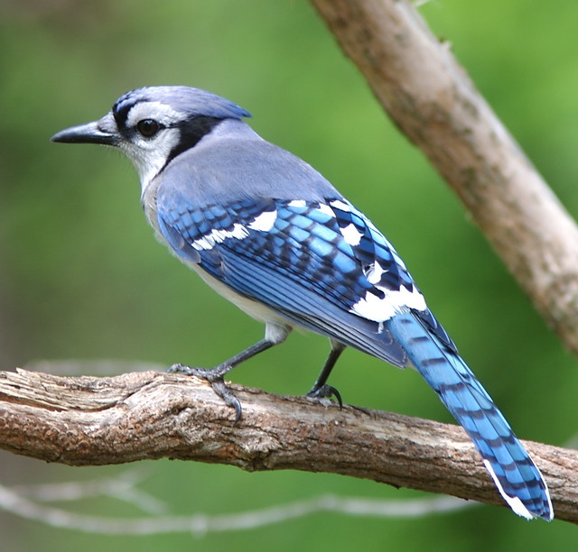 Bright blue jay