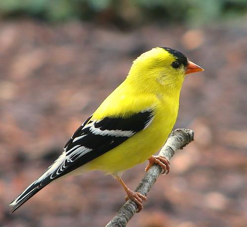 Male Goldfinch by trisheroverton