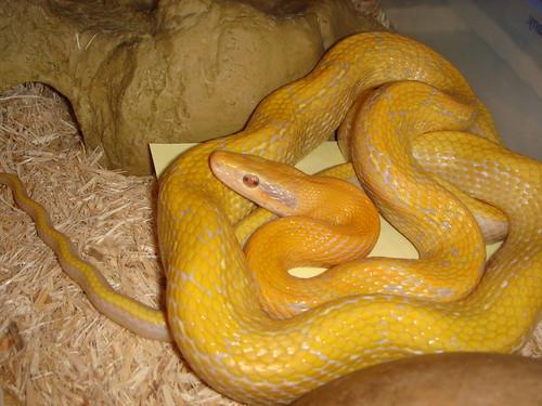 Albino Green Anaconda