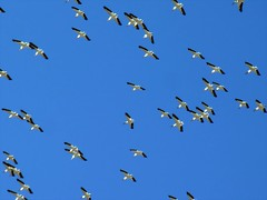Pelicans riding the high desert thermals (Pink Pepper Photo) Tags: pelicans nikon desert nevada may highdesert coolpix migration swarm 2007 migrating thermals americanwhitepelican nikoncoolpix8800 8800