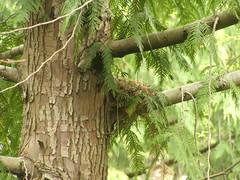 Nest in Progress (rowkitcat) Tags: building tree bird college robin campus spring view nest americanrobin birdsnest outsidemywindow wwu westernwashingtonuniversity ceder constructing