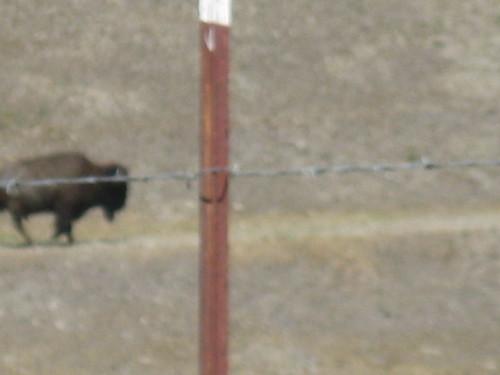 a freakin buffalo!