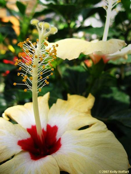 White and Red Hibiscus