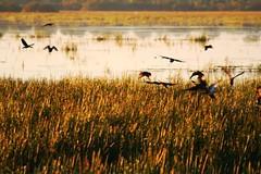 Dendrocygne  lunules, Dendrocygna arcuata (Wandering Whistling-Duck) (Don-Jean Landri) Tags: 2005 australie dendrocygna wanderingwhistlingduck dendrocygnaarcuata territoiredunordaustralie dendrocygnelunules