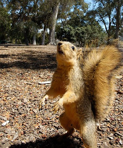 Squirrel-Attack