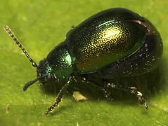 "Female Leaf Beetle (Gastrophysa viridula) • <a style=""font-size:0.8em;"" href=""http://www.flickr.com/photos/57024565@N00/504663540/"" target=""_blank"">View on Flickr</a>"