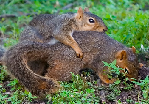 How to tell a squirrels sex