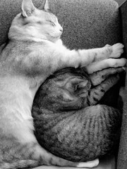 Basil & Bella7 (Monique Barber) Tags: bw pet cats cute love animal cat snuggle blackwhite hug kitten sleep kitty kittens cuddle cosy thecatwhoturnedonandoff