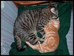 """Sharing the Chair"" (beachbum1616) Tags: friends pet cats pets animal animals cat fur mammal friend feline kitty kitties purr meow felines mammals bestofcats"