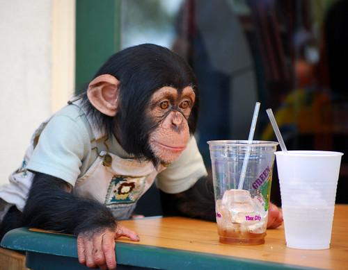 Ybor Chimpanzee