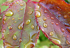 Rose Leaves (Jeff L.2007 (Laverton Images)) Tags: canada macro nature leaves rain rose britishcolumbia explore raindrops mapleridge gvrd roseleaves sonydsch1 naturesgallery keepexploring wowiekazowie jeffl2007 lavertonimages