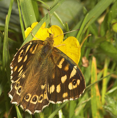 """Speckled Wood Butterfly (Pararge aege(9) • <a style=""""font-size:0.8em;"""" href=""""http://www.flickr.com/photos/57024565@N00/519818061/"""" target=""""_blank"""">View on Flickr</a>"""