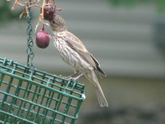 Juv house finch