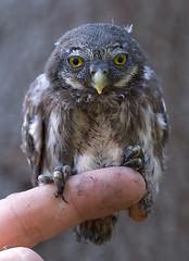Varpuspöllön poikanen (mattisj) Tags: bird birds bravo searchthebest explore owl owls pygmyowl lintu linnut naturesfinest pöllö glaucidiumpasserinum pöllöt varpuspöllö specanimal animalkingdomelite avianexcellence flickrdiamond