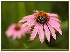 Echinacea purpurea - by K. W. Sanders