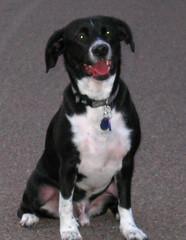 charley dog (byrdiegyrl) Tags: park sunset arizona dog pet walk buddy charley