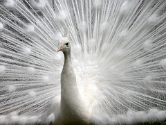 ...Starburst... (Random Images from The Heartland) Tags: white male nature topf50 topv555 topv1111 topc50 albino indianpeafowl pavocristatus topf20 top20favview bail56 randomimagesfromtheheartland
