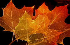 Maple Leaf Structure (jurvetson) Tags: autumn fall topf25 leaves leaf maple topv555 bravo creativecommons topv777 veins etch selectedasthebest gtaggroup goddaym1 abigfave