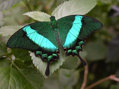 ...Green Peacock Swallowtail... (Random Images from The Heartland) Tags: chris macro southdakota butterfly insect topc50 insects bailey swallowtail topf20 chrisbailey bail56 randomimagesfromtheheartland chrisbaileyimages