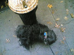 a precarious balancing act (lia) Tags: cameraphone 7610 jarvis dog fuzzball firehydrant hydrant leaves autumn fall pee peeing 24in48