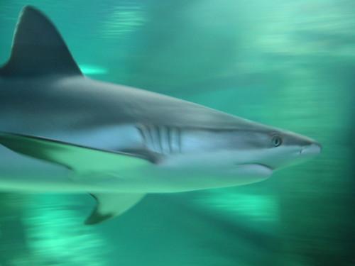 Shark at Sydney Aquarium