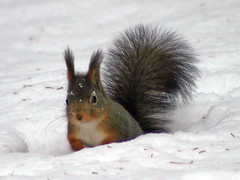 Hungry Squirrel (Steffe) Tags: november winter snow cold topf25 animal fur rodent interestingness squirrel europe sweden tungelsta bergdalen portfolio haninge ekorre yf sciurusvulgaris top20fav2005 20topfaves2005 winterinsweden