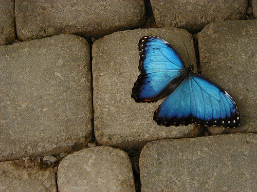 Blue Butterfly on Tile