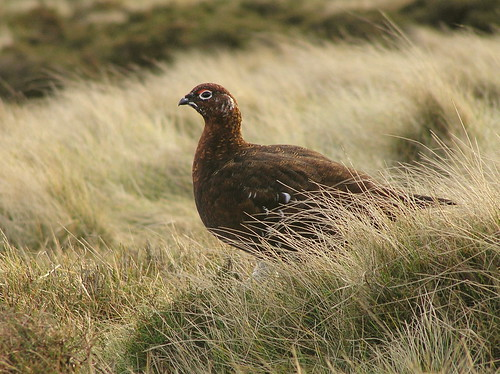 Red Grouse by Roger B..