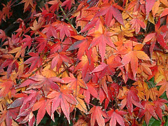 numbered (highglosshighs) Tags: autumn red 2004 leaves japan december september  toyama fukumitsu