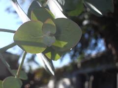 Young Eucalyptus (LauraElaine) Tags: elcerrito