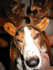Bacon, the disgruntled christmas basselope