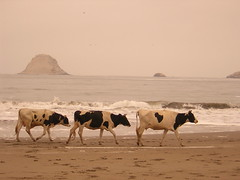 Cows on the beach (Jose Alarco) Tags:
