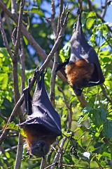 Fruit Bats, Asutralia