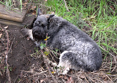 lucy_dig (giori) Tags: dog lucy sofa schnauzer fotolog well