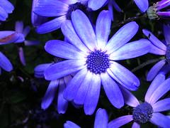 Asteraceae (jillmotts) Tags: blue flower petals purple asteraceae compositeflower color:hsv_avg=9a9b8d color:hsv_med=ad9ea2 color:rgb_avg=37588d color:rgb_med=443ea2 jillmotts