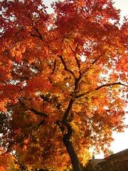 Fall Colors (jillmotts) Tags: autumn red orange tree leaves fallcolors pistachio color:hsv_avg=0ebb93 color:hsv_med=0ccd91 color:rgb_avg=944c28 color:rgb_med=913f1d jillmotts