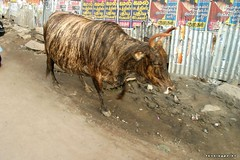 buffalo - by kifo