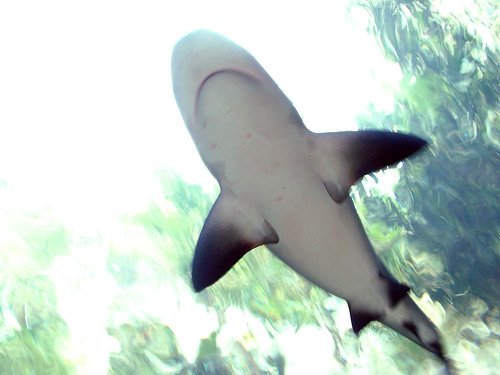 Bull Shark in an Aquarium