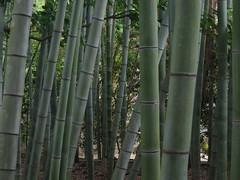 Bamboo (mrjorgen) Tags: bamboo canes kyoto green templegarden may2004 japantripmay2004 bambus japan