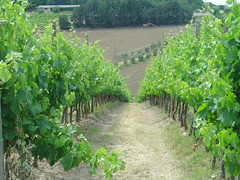 Grape Farm in Tuscany (Jason Zen) Tags: italy honeymoon sanleonino chianti tuscany wine grapes farm