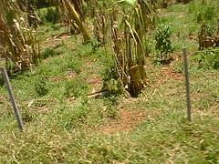 PIC00016 (joaobambu) Tags: 1998 brazil brasil echapor echapora farm fazenda