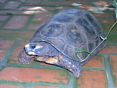 Jabuti (joaobambu) Tags: 2004 echaporã echapora february fevereiro chacara brazil brasil turtle
