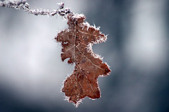 A Lonely Leaf (Steffe) Tags: blue winter brown snow cold topf25 leaf interestingness oneleaf frost december sweden tungelsta bergdalen portfolio 2004yitl yf top25f winterinsweden