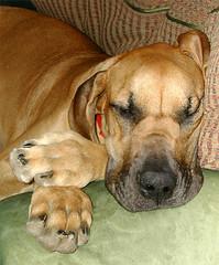 Oola Sleeps (Laertes) Tags: oola hurd greatdane dog dane