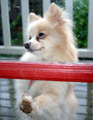 Photo of a Pomeranian