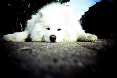fluffy dog (lomokev) Tags: city dog white london lomo lca xpro lomography crossprocessed xprocess top20animalpix fluffy lomolca agfa jessops100asaslidefilm agfaprecisa lomograph agfaprecisa100 cruzando precisa deletetag jessopsslidefilm rota:type=showall file:name=brough611h use:on=moo